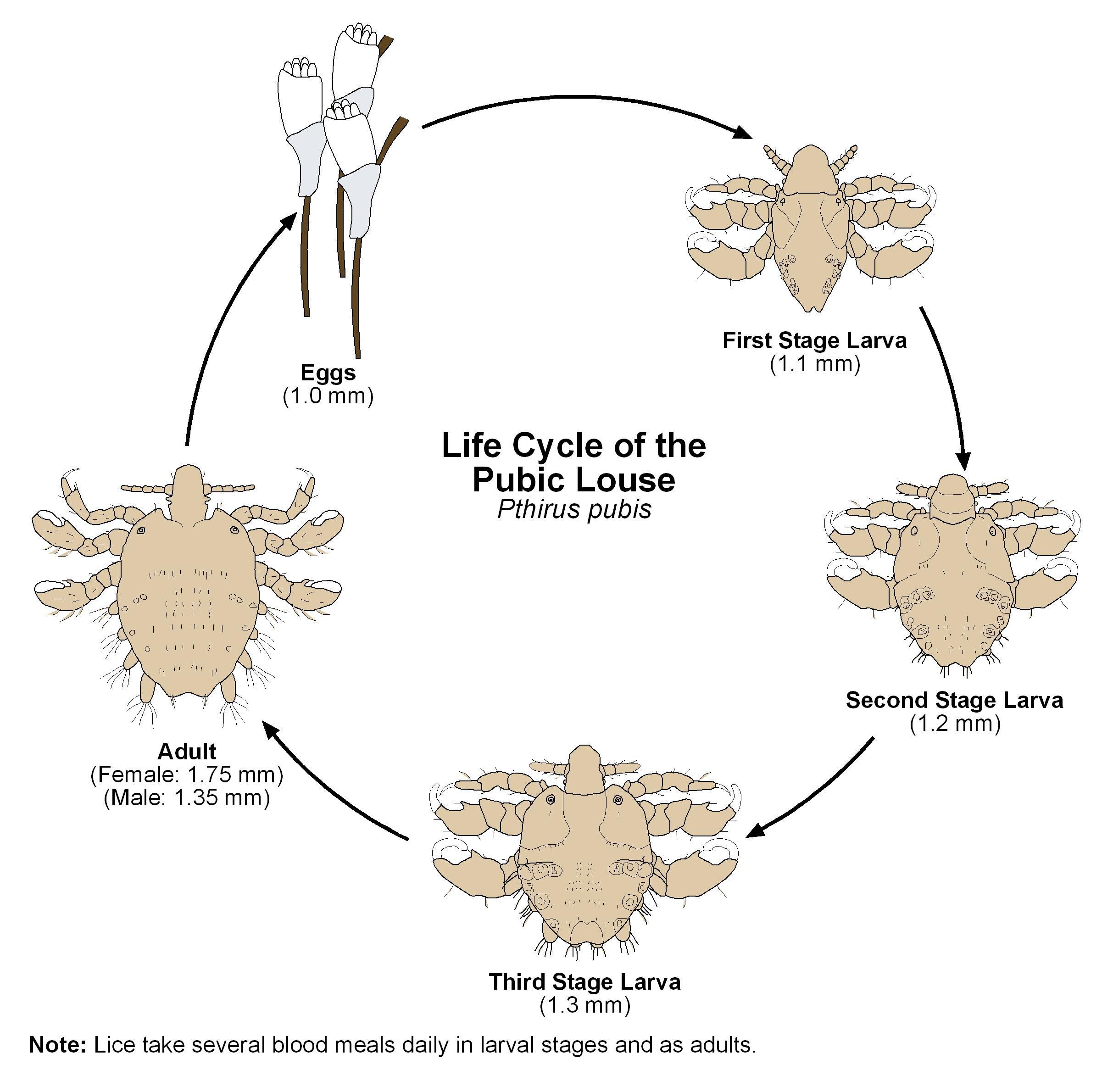 How to Treat Crabs (Pubic Lice)